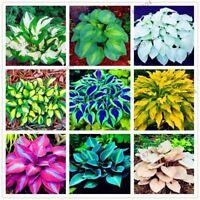 200pcs/bag Hosta Seeds Perennials Plantain rare  Lily Flower White Lace Home pot