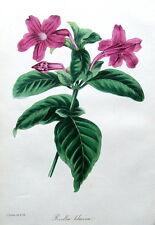 Ruellia Lilacina, Holden Paxton, Antique Fleur Botanique Imprimé c1840