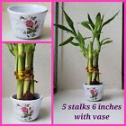 Lucky Bamboo 5 stalks 6 inches w/ Vase, Gift, Arrangement, Feng Shui. Perennial