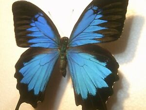 Butterfly/Insect Non Set B7503 Dark Blue V/Large Papilio ulysses ulysses Rare A+