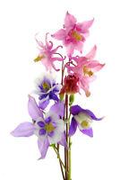 Akelei bunte Mischung ca. 50 Samen - mehrjährig / winterhart -Aquilegia caerulea