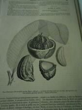La Noix du Brésil 1856 Gravure Print Article