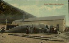 Whaling Sperm Whale Caught Off of Durban S. Africa c1910 Postcard