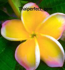 "Plumeria/Plants/Flowers/""Golden""/Fresh 50 seeds!"
