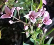 Boronia denticulata in 75mm supergro tube native plant