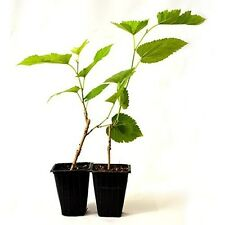 Dwarf Mulberry Tree Fruit Plant 2 Pack Easy-to-grow Garden Outdoor Best Gift NEW