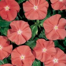 Catharanthus Heatwave Santa Fe Seed Annual Large Flower Adaptable Low Maintenace