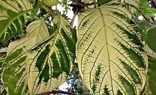 Fresh 20 seeds Variegated noni (Morinda citrifolia) 'Variegated'