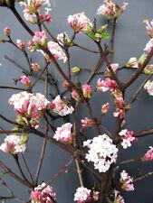 Schneeball Viburnum bodnantense Dawn 60-80cm Winter und Frühlingsblüher