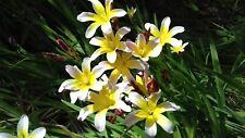 Sparaxis bulbifera - harlequin flower 5 bulbs