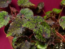 "Begonia Plant Red Planet 4"" Pot Rhizomatous"