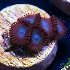 Wwc Nuclear halo Zoas ~ Wysiwyg Live Coral Frag ~ World Wide Corals ~ #59