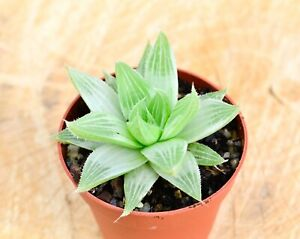 Haworthia Magnifica var. Acuminata Grey Ghost Succulent Plant Grown in 7 cm Pot