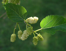 Morus alba White Mulberry Tree Seeds
