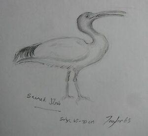 "JOHN TAYLOR AUSTRALIAN PENCIL ""SACRED IBIS BIRD"" 1965 A"