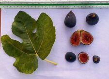 Delicious Fig Trees * Ficus Carica Var. ALBACOR MOLLA VERMELLA 3 fresh cuttings