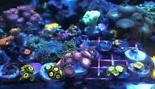 Mixed Lps/Sps/Zoa 10 Frag Pack Live Coral Free Overnight Shipping
