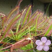 100Pcs Cape Sundew Fresh Drosera Capensis Carnivorous Garden Plant Easy Grow Hot