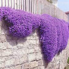 250pc Bag Cascade Purple Aubrieta Flower Seeds Perennial Cover Romantic B1G3