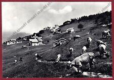VERCELLI SCOPELLO 78 MERA VALSESIA PASCOLO MUCCHE Cartolina FOTOGRAF viagg. 1961
