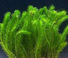 20 x Elodea densa live pond weed aquarium plant coldwater tropical oxygen egeria