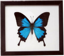 FRAMED REAL BEAUTIFUL ULYSSE BUTTERFLY DISPLAY INSECT TAXIDERMY