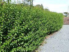 60 Green Privet Hedging Plants Ligustrum Hedge 40-60cm,Dense Evergreen,Big Pots