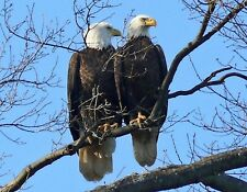 METAL FRIDGE MAGNET Two Bald Eagles Birds Of Prey In Tree Eagle Bird
