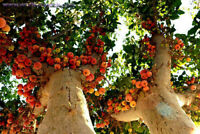Ficus sycamorus - Sycomore Fig - Fruit Tree Seeds - 6 Seeds