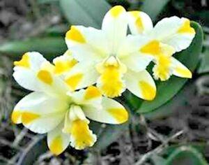 FRAGRANT MINI ~ Cattleya Orchid ~ Blc. Solar Flare 'Paradise'