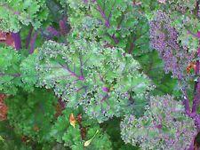 250 Graines Kale Brassica oleracea 'Red Russian' seeds