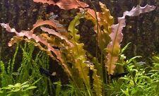 1 x Aponogeton CRISPUS aquarium live bulb red plant - tropical fish tank natans