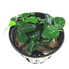 Anubias Nana 'Petite' on Potted Live Aquarium Freshwater Plants BUY2GET1FREE*