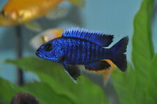Electric Blue Hap Cichlid Sciaenochromis fryeri 5 cm Tropical Fish