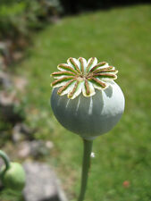 60,000+ Seeds FRESH Afghan Blue Poppy Seeds (3 oz)  Unwashed  Papaver Somniferum