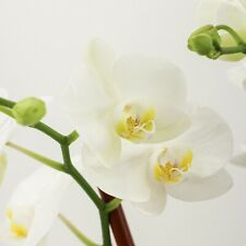 100 Boat Orchid Flowers Seeds Rare Cymbidium Bonsai Plants in Home Garden Decor