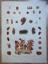 DESCRIPTION DE L'EGYPTE 1821-30 SAVIGNY ZOOLOGIE SPONGE LARGE ENGRAVED PLATE
