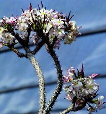 20 Pachypodium meridionale seeds