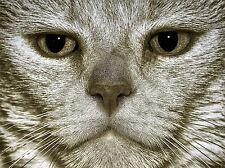 Gato Gris Cara Ojos Retrato Foto impresión arte cartel Imagen bmp1852a