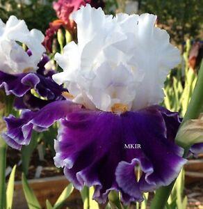 Tall Bearded Iris ~Merry Amigo~