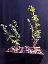 fouquieria diguetii, Caudex, Tree succulent, Bonsai lot of 2