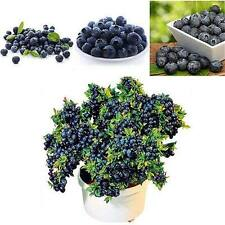 30pcs Blueberry Seeds Garden Edible Fruit Bonsai Plant Indoor Outdoor Available