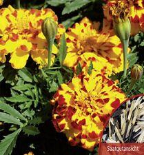 Studentenblume Tagetes Bonanza Bolero Höhe 20 cm Samen