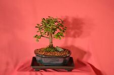 Indoor Bonsai,Mini Jade, (Money Plant) 5 Years Old, Broom Style.