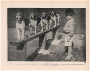 Beagle Dogs Lined Up, South Herts Kennels at Radlett, vintage print 1935