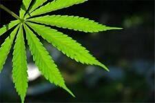 Medical Marijuana Legal Dispensary How To BUSINESS PLAN