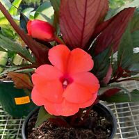 RARE Flower Plant - Busy lizzy -(Impatiens walleriana Balsamine de Waller)