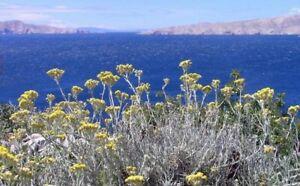 Helichrysum Oil  Helichrysum italicum