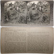 Keystone Stereoview Hunter & Tiger on Elephant in INDIA From RARE 1200 Card Set