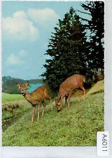 A6011pac Animals Deer Kruger postcard